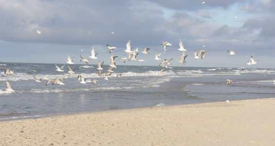 Пляж города Паланга. Чайки