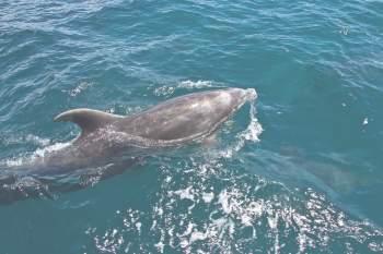 Дельфин в водах Тихого океана