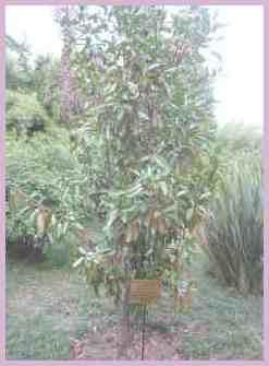 Растения Сухумского ботанического сада