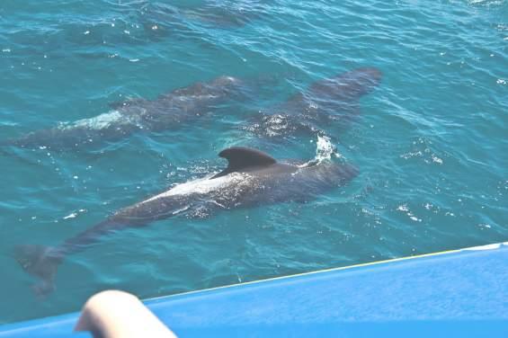 Дельфины вблизи туристического катера